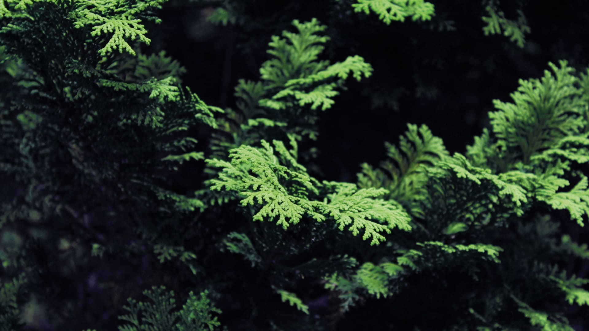 A tree of life (botanic name: thuja) from the cypress family (cupressaceae) is a durable evergreen plant genus, three species of which are native to eastern Asia.